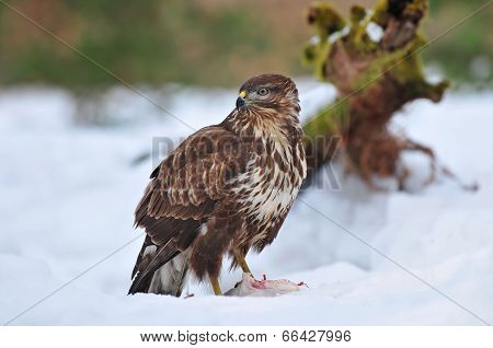 Common buzzard eating
