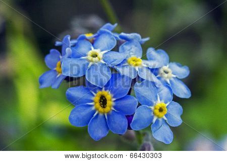 Forget-me-not Flowers, Oil Paint Stylization