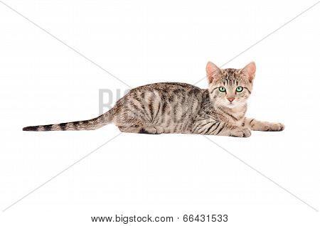 A Tabby Kitten On White