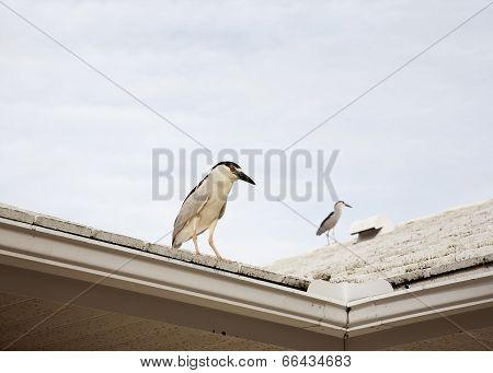 Two  Birds Black Crowned Night Heron On A Roof