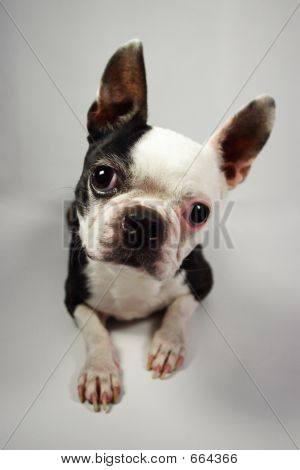 Boston Terrier Nonstandard