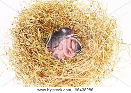 small mouse babies in nest