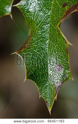 Nature Abstract - Thorny Green Leaf