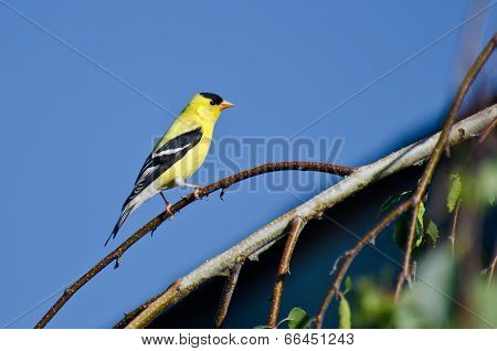 American Goldfinch Perched On A Branch Against A Blue Sky