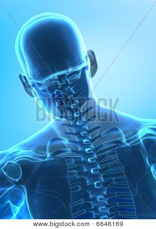 Human Cervical Spine