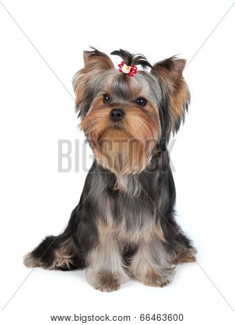 Puppy Of The Yorkshire Terrier With Hairpin