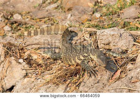 Monitor Lizard with focus on head