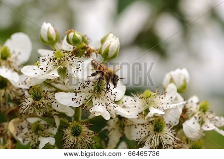 Bee Pollinating Blackberry Flowers