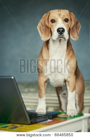 Nosy Beagle Near Laptop