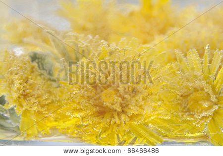 Yellow Dandelion In Water