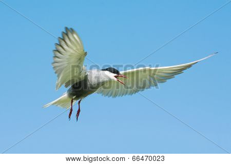 A whiskered tern on the blue sky