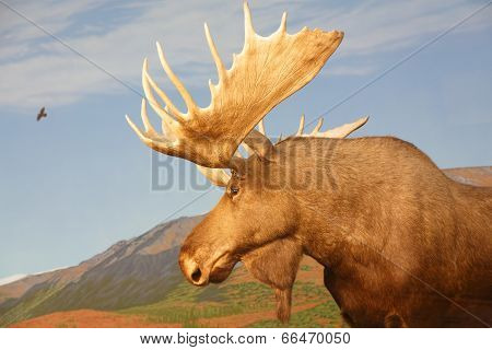 Moose In Canadian Wilderness