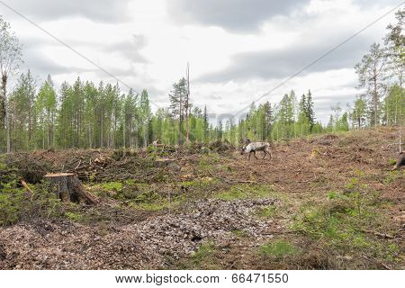 Reindeer In A Deforestation Area Trying To Avoid The Photographer