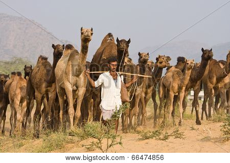Pushkar, India - November 20: Pushkar Camel Mela (pushkar Camel Fair) On November 20, 2012 In Pushka