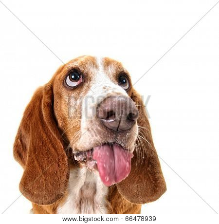 a cute portrait of a basset hound