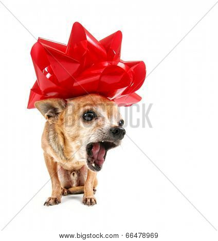 a cute portrait of a chihuahua with a red bow on his head