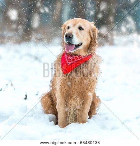 Young golden retriever sitting at the snow in winter park