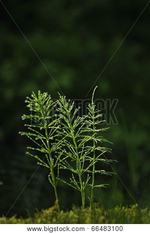 Three horsetail flowers in a deep forest, equisetum arvense