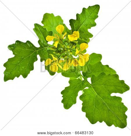 White mustard plant flowering close up  (Sinapis)  isolated on white background