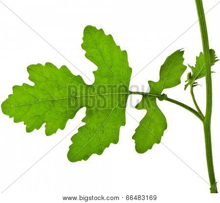 One Leaf of Mustard plant , surface close up, isolated on white background