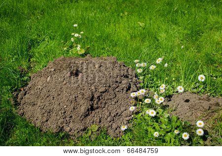 Mole And Molehill In The Garden White Flower