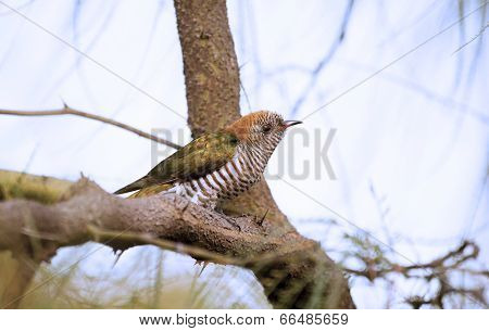 Asian Emeral Cuckoo