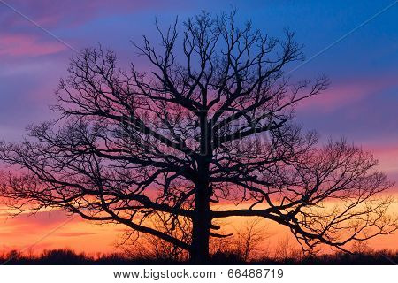 Big Ole Tree At Sunset