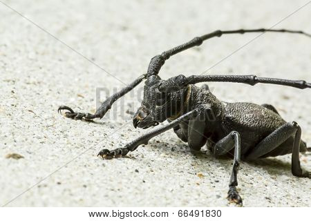 Insect: Longhorn Beetle