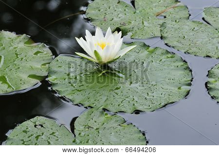 Nymphaea.Waterlily.