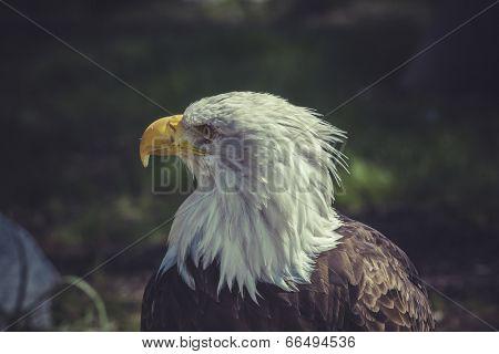usa, American Bald Eagle (Haliaeetus leucocephalus)