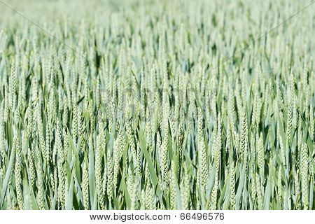 Common Wheat (triticum Aestivum)