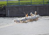 image of winnebago  - An American White Pelican opening its beak wide while a row of the birds sit along the dam edge - JPG
