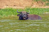 stock photo of female buffalo  - Cape Buffalo in the Kazinga Channel in Uganda