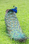 stock photo of peahen  - Beautiful peacock figure in the green grass background