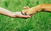 stock photo of paws  - Dog paw and human hand are doing handshake on nature friendship - JPG