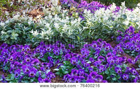 Blue Viola Tricolor Or Heartsease.