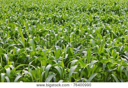 Corn Fields.