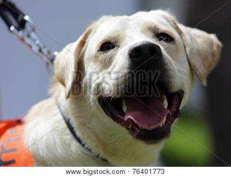 Blind Person's Golden Retriever Guide Dog