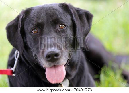 A Labrador Laying On The Ground