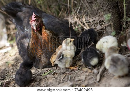 A Hen Is Guarding Her Newly Born Chickens