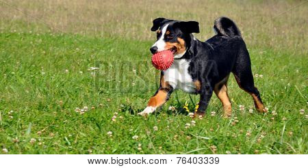 Appenzell cattle dog running on the green grass