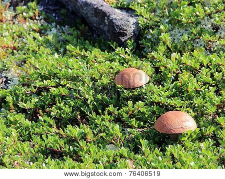 Northern travel, mushrooms in the mountains, amid the stones and moss.