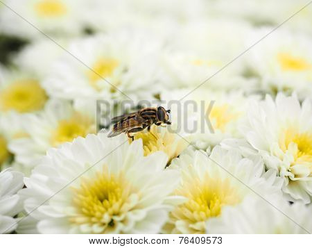 Bee Gathering Nectar While Pollinating A Pile Of White Flowers With Yellow Center