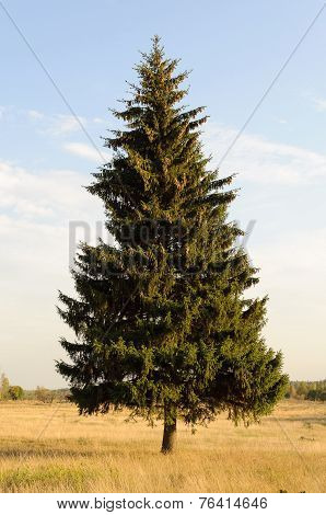 Single Fir Tree On The Meadow