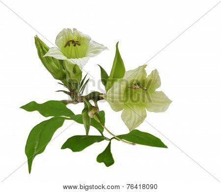 Parmentiera Edulis Flowers