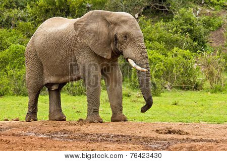 Male Elephant At A Water Hole