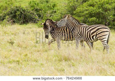 Two Young Zebras Having Fun