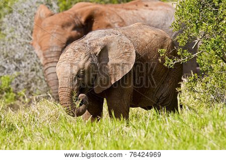 Young Elephant Eating Grass