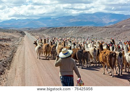 Llama Herd On Road