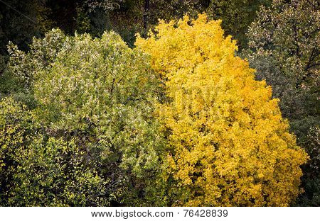 Beautiful Yellow Autumn Tree